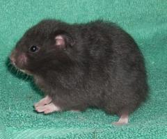 Foto 3 Hamster - Teddyhamster aus Artgerechter Zucht