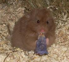 Hamster - Teddyhamster aus Zucht