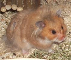 Foto 2 Hamster - Teddyhamster aus Zucht