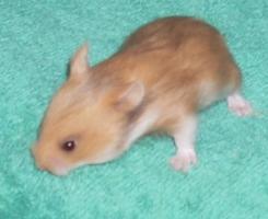 Foto 4 Hamster - Teddyhamster aus Zucht