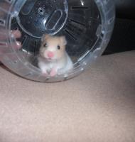 Foto 3 Hamsterbabys aus Hobbyzucht abzugeben