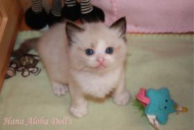 Hana Aloha Doll's Kitten