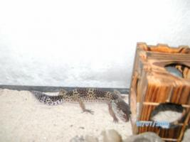 Foto 2 Handzames Leopardgecko paar abzugeben!