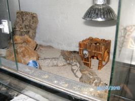 Handzames leopradgeckopaar abzugeben