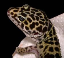 Foto 2 Handzames leopradgeckopaar abzugeben