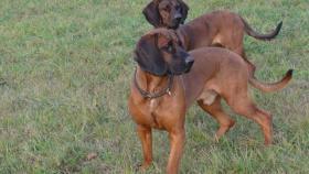 Foto 2 Hannoverscher-Schweißhund-Deckrüde vom Zwinger ''''vom Tannenstück''''