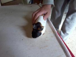 Foto 6 Hasen und Meerschweinchen zuverkaufen