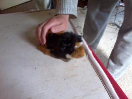 Foto 7 Hasen und Meerschweinchen zuverkaufen
