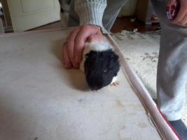 Foto 8 Hasen und Meerschweinchen zuverkaufen