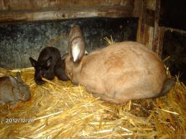 Hasen , Stallhasen , Jungtiere , Kaninchen