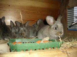 Foto 3 Hasenkaninchen und Deutsche Riesen weiß und grau