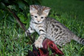 Hauskatzen - Kitty und Molly