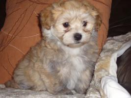 Havaneser Welpen, langhaarige Kleinehunde, Familienhunde