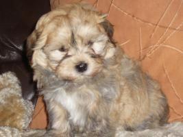 Foto 2 Havaneser Welpen, langhaarige Kleinehunde, Familienhunde