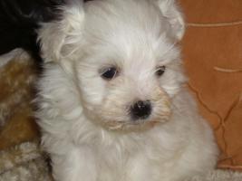 Foto 3 Havaneser Welpen, langhaarige Kleinehunde, Familienhunde