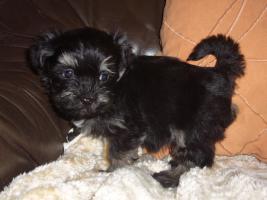 Foto 4 Havaneser Welpen, langhaarige Kleinehunde, Familienhunde