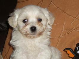 Foto 5 Havaneser Welpen, langhaarige Kleinehunde, Familienhunde