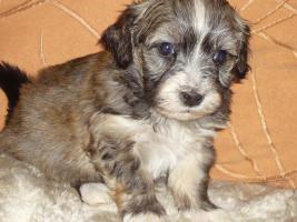 Foto 6 Havaneser Welpen, langhaarige Kleinehunde, Familienhunde