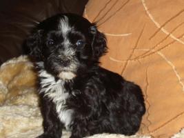 Foto 8 Havaneser Welpen, langhaarige Kleinehunde, Familienhunde