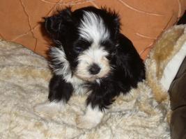 Foto 10 Havaneser Welpen, langhaarige Kleinehunde, Familienhunde