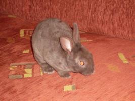 Havanna und Chinchilla Zwergrex Kaninchen suchen ein neues Zuhause