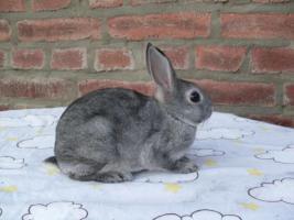 Foto 2 Havanna und Chinchilla Zwergrex Kaninchen suchen ein neues Zuhause