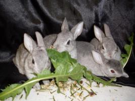 Foto 4 Havanna und Chinchilla Zwergrex Kaninchen suchen ein neues Zuhause
