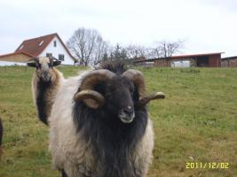Foto 4 Heidschnucke/Bock
