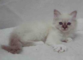 Foto 2 Heilige Birma Kätzchen