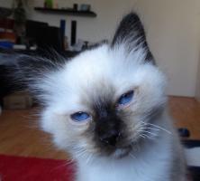Foto 4 Heilige Birma Katze Kater Kitten Rasse Stammbaum