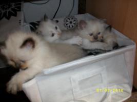 Heilige Birma Katzenbabys