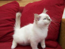 Foto 3 Heilige Birma Kitten