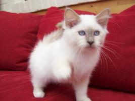 Foto 5 Heilige Birma Kitten