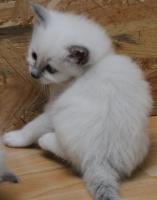 Foto 4 Heilige Birma Kitten
