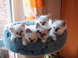 Heilige Birma Kitten