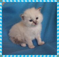 Foto 3 Heilige Birma Kitten von Oldima aus NRW