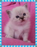 Foto 5 Heilige Birma Kitten von Oldima aus NRW