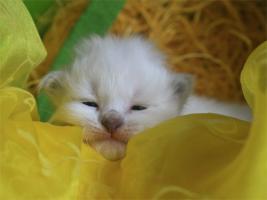 Foto 2 Heilige Birma Kitten mit Stammbaum