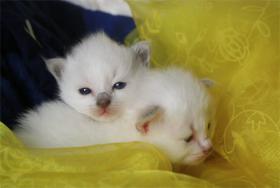 Foto 3 Heilige Birma Kitten mit Stammbaum