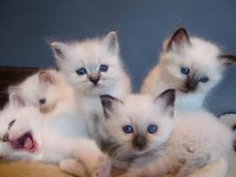 Foto 3 Heilige Birma Kitten aus kleiner Hobbyzucht