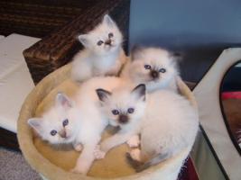 Foto 4 Heilige Birma Kitten aus kleiner Hobbyzucht