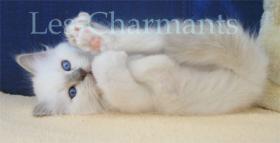 Foto 4 Heilige Birma-Kitten in lilac-point mit Stammbaum
