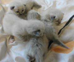 Foto 2 Heilige Birma Kitten, mit super schönen blauen Knopfaugen