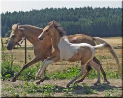 Foto 2 Hengstfohlen - Schecke - Buckskin - Rarität - Fohlen - DRP