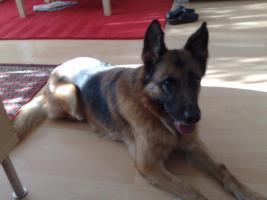 Foto 2 Hera ist ein ausgebildeter Blindenführhund in Rente