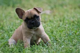 Foto 3 Herrliche Französisch Bulldogge Welpen zu verkaufen