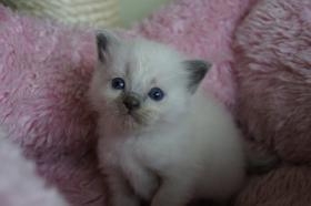 Herzige Ragdoll Kitten mit Stammbaum