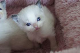Foto 2 Herzige Ragdoll Kitten mit Stammbaum