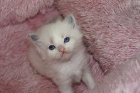 Foto 3 Herzige Ragdoll Kitten mit Stammbaum