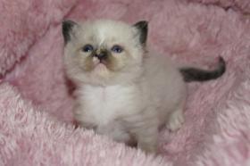 Foto 4 Herzige Ragdoll Kitten mit Stammbaum